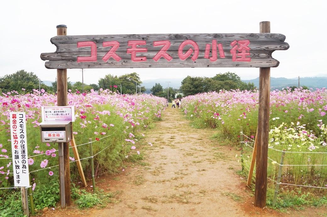 新城コスモスの小径【2017年版】