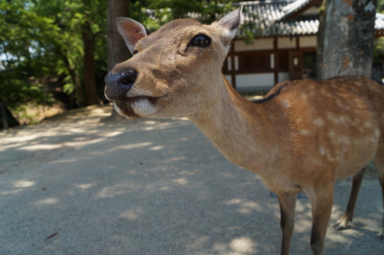 鹿!とにかく鹿!出会える奈良